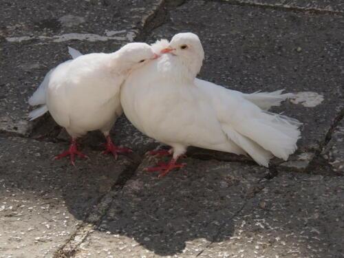 Taubenliebe