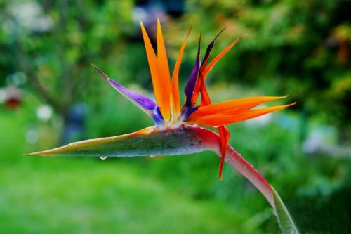 Papageienblume