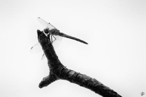 Danziger Flügeltier